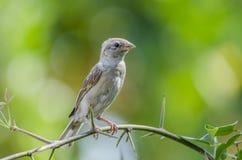 Oiseau de moineau de Chambre Photos libres de droits