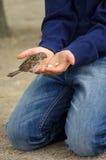 Oiseau de moineau mangeant du pain de la main tendue Photo libre de droits