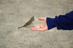Oiseau de moineau mangeant du pain de la main tendue Image libre de droits