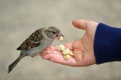 Oiseau de moineau mangeant du pain de la main tendue Photos libres de droits