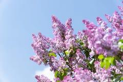 Oiseau de moineau sur la branche des fleurs lilas pourpres roses Images stock