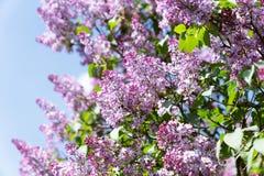 Oiseau de moineau sur la branche des fleurs lilas pourpres roses Photographie stock