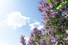 Oiseau de moineau sur la branche des fleurs lilas pourpres roses Photo stock