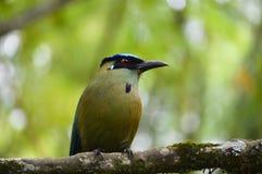 Oiseau de motmot couronné par bleu Image stock