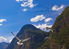 Oiseau de mouette dans le fjord de la Norvège Images stock