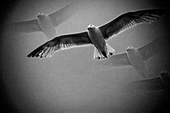Oiseau de mouette de mer en vol Photo libre de droits