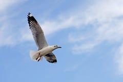 Oiseau de mouette de vol image libre de droits