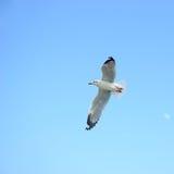 Oiseau de mouette de vol photo libre de droits