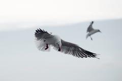 Oiseau de mouette de vol images libres de droits