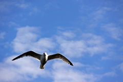 Oiseau de mouette en vol image libre de droits