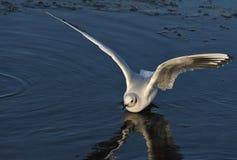 Oiseau de mouette sur l'océan Photo libre de droits