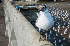 Oiseau de mouettes à la mer Bangpu Samutprakarn Thaïlande images stock