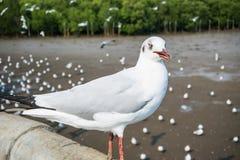Oiseau de mouettes à la mer Bangpu Samutprakarn Thaïlande Photographie stock libre de droits