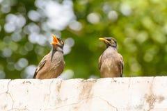Oiseau de Myna Photographie stock libre de droits