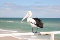 Oiseau de pélican Photo libre de droits