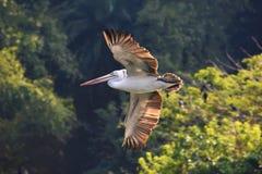 Oiseau de pélican affiché par tache image stock