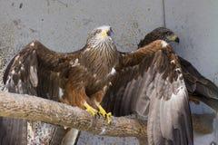 Oiseau de pérégrin Photographie stock