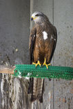 Oiseau de pérégrin Photo libre de droits