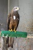 Oiseau de pérégrin Image stock