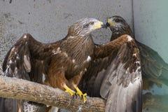 Oiseau de pérégrin Photo stock