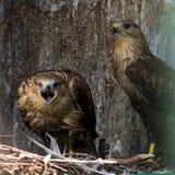 Oiseau de pérégrin Images stock