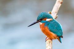 Oiseau de pêcheur de roi sur une branche image libre de droits