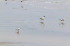 Oiseau de palliatus de Haematopus en plage de Cassino Photographie stock