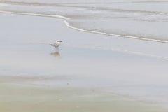 Oiseau de palliatus de Haematopus en plage de Cassino Images stock