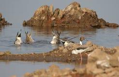Oiseau de Pantail Image stock