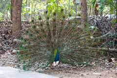 Oiseau de paon écartant ses belles plumes Photos libres de droits