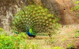 Oiseau de paon dans le zoo Photo libre de droits