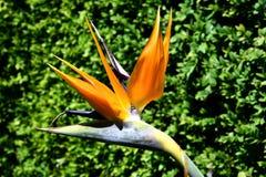 Oiseau de paradis photos libres de droits