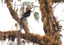 Oiseau-de-paradis de la Roi-de-Saxe images libres de droits