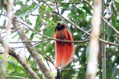 Oiseau-de-paradis de Raggiana images stock
