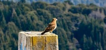 Oiseau de Patagonia images libres de droits