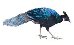 Oiseau de Peafowl d'isolement images stock
