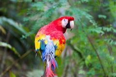 Oiseau de perroquet d'ara dans la réservation de faune de montagne d'ara près de Copan Honduras photo stock