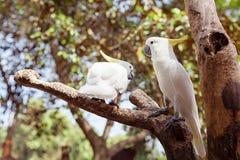 Oiseau de perroquet de deux blancs joignant sur le bois Photo libre de droits