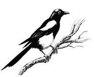 Oiseau de pie illustration libre de droits