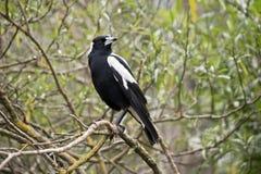 Oiseau de pie australienne images libres de droits