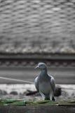 Oiseau de pigeon Photographie stock