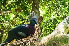 Oiseau de pigeon Photo stock