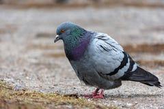 Oiseau de pigeon de colombe Photo libre de droits