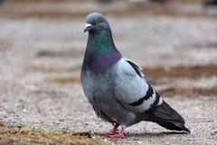 Oiseau de pigeon de colombe Photos libres de droits