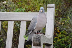 Oiseau de pigeon dans Hyde Park, Londres Photo libre de droits