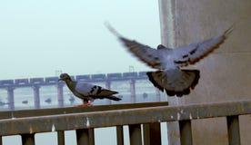 Oiseau de pigeon de deux Indiens Photo libre de droits