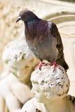 Oiseau de pigeon se reposant sur un sculture Photo stock
