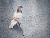 Oiseau de pigeon se tenant dans la rue Photographie stock