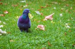 Oiseau de pigeon sur l'herbe Photo libre de droits