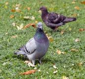 Oiseau de pigeon sur l'herbe Photos stock